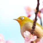 桜餅は2種類ある?関東の長命寺と関西の道明寺の違いは?