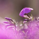 埼玉県 秩父市 羊山公園の芝桜まつり情報!見頃や開花状況は?