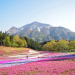羊山公園芝桜の丘へのアクセスと臨時駐車場情報!