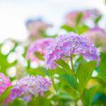 紫陽花の色を変える方法はある?花の色を決める要素は?