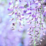 江南市曼陀羅寺公園の藤まつり!見頃や開花状況、駐車場情報