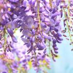 津島市天王川公園の藤まつりに行こう!開花状況や駐車場は?