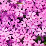 茶臼山高原の芝桜!見頃や開花状況は?駐車場や渋滞情報も!