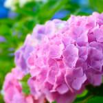 紫陽花には毒があるって本当?触っても大丈夫?