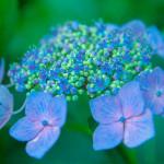 紫陽花(あじさい)の花言葉は移り気?名前の由来は?