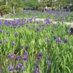 知立市無量寿寺の史跡八橋かきつばたまつり!見頃や駐車場情報