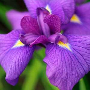 ショウブの花