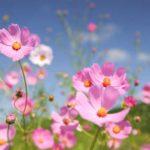 コスモスの花言葉を知って、相手に合った色をプレゼント!