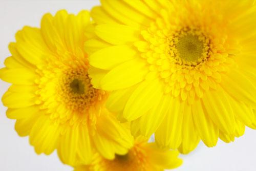 ガーベラ黄色