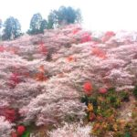 小原村の四季桜まつりに行こう!見頃や渋滞情報、駐車場など