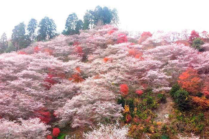 小原村四季桜