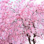 東谷山フルーツパークのしだれ桜まつり2018!駐車場や開花状況、見所は?