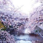 岩倉市五条川の桜まつり2018!開花状況や駐車場、ライトアップ情報!