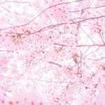 名古屋市千種区の平和公園でお花見!桜の見頃、駐車場やアクセスは?