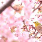 山崎川にお花見に行こう!桜の開花情報、駐車場、ライトアップなど