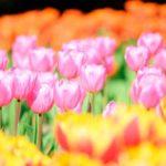 木曽三川公園のチューリップ祭りへ行こう!開花状況、アクセスや駐車場は?