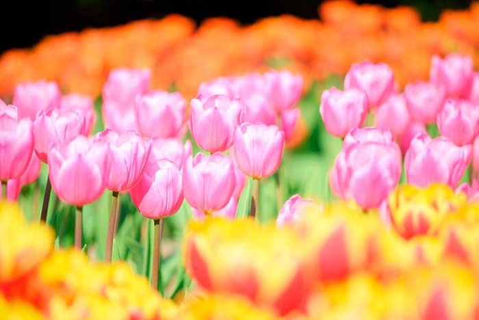木曽三川公園のチューリップ祭りへ行こう!開花状況 ...