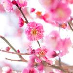 向山緑地公園の梅まつり2020!【見頃や開花状況、駐車場情報も】