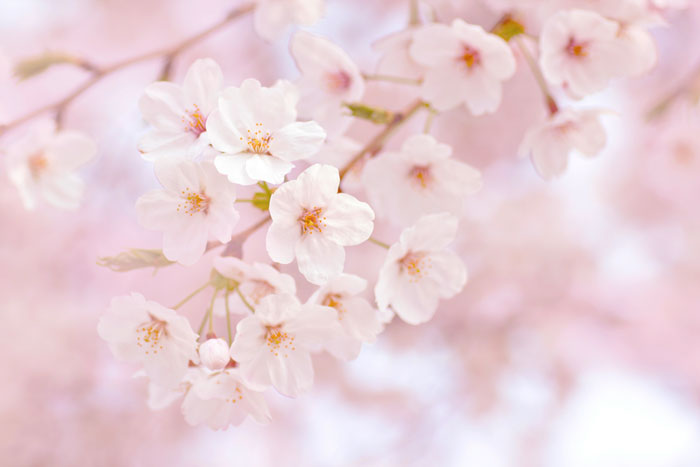 愛知県の桜の名所・桜祭りのおすすめはココ!