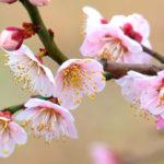 愛知・岐阜・三重の梅まつりを楽しもう!【梅の名所】