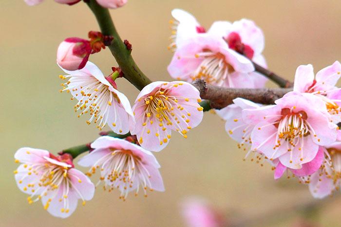 愛知・岐阜・三重の梅まつりを楽しもう!【梅の名所おすすめ】