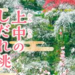 豊田「上中のしだれ桃」を見に行こう!アクセスや駐車場情報【桃源郷】